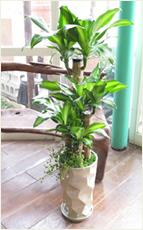 幸福の木ミラーホワイト鉢